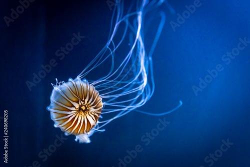Photo  Chrysaora fuscescens Orange jellyfish also  Pacific sea nettle
