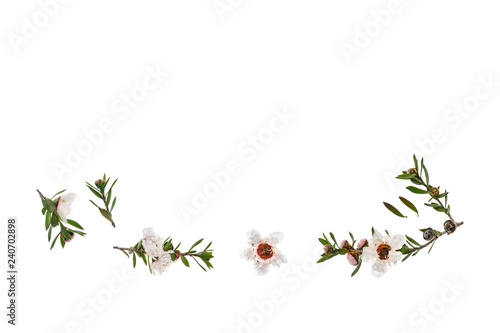 isolated white manuka flowers and twigs on white background with copy space above - 240702898