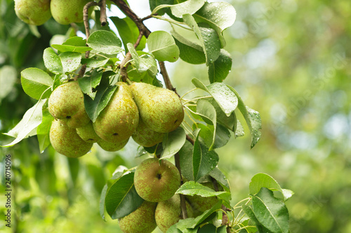 Photo Pear fruit on the tree in the fruit garden