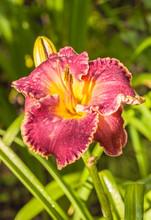 """Purple Daylily (hemerocallis)  """"David Kirchhoff"""" With Water Drops On A Blurred Background"""