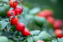 Red Rosehip Berries On A Branc...