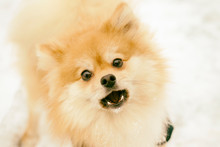 Portrait Of A Ginger Pomeranian Dog On A Background Of Snowy Winter. Have Toning.