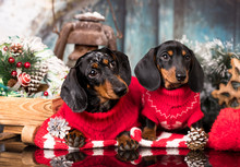 Puppy Dachshund, New Year's Pu...