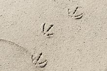 Seagull Footprints In The Beach Sand.