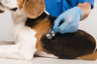 cropped view of veterinarian examining beagle dog with stethoscope
