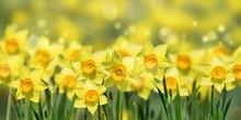 Osterglocken Im Frühling Pano.