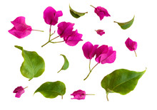 Set Of Bougainvillea Flowers And Leaves