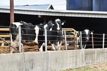 Dairy Cows In Pen