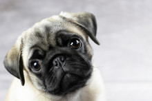 Portrait Of A Pug Puppy, Cute Funny Face Close Up