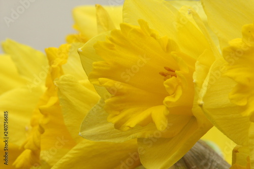 A close up photograph of a daffodil head, national flower of Wales, St David's Day