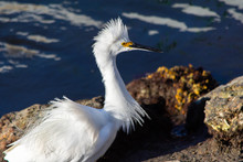 Egret With Ruffled Plumage Sta...