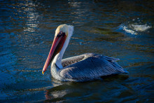 Brown Pelican, California Brown Pelican Resting On Water