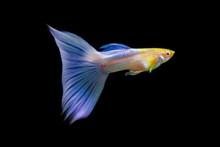 Albino Japan Blue Guppy Fish (Poecilia Reticulata) On Black Isolated Background