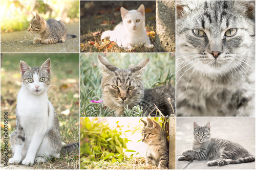 Fototapety, obrazy: Collage of cute domestic European  cats