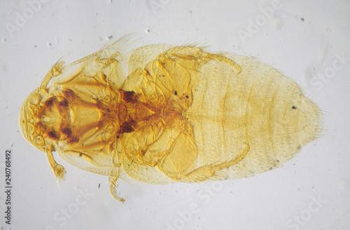 Female Beaver beetle or Platypsyllus castoris under the microscope