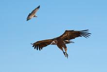 Griffon Vulture (Gyps Fulvus) Flying, Silhouette Of Bird