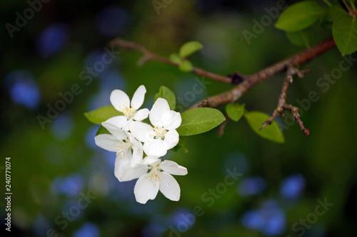 Fotografia  Zweig mit frischen, weißen Apfelblüten