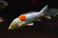 Beautiful White Fish With Orange Spots Under Water