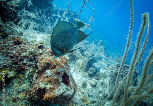 Obraz na dibondzie (fotoboard) Tropikalna ryba na Coral Reed
