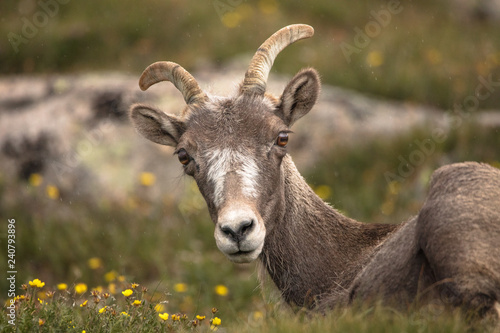 Fotografie, Obraz  Big Horned Sheep Laying Down