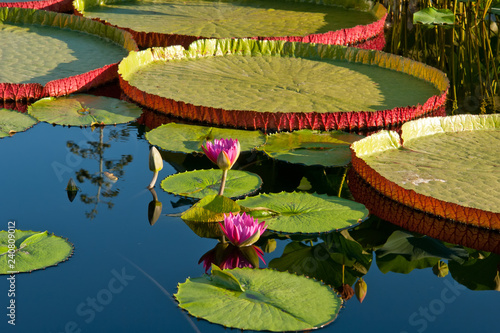 Poster de jardin Nénuphars Water lily and water platter