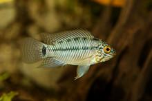 Cichlid Apisto Neon Blue Head Aquarium Fish Apistogramma Resticulosa
