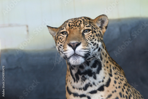 Poster Leopard Jaguar