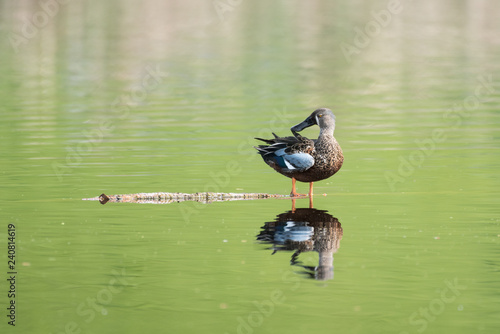 A male Australasian shoveler, or kuruwhengi, standing on a branch in a lake with a reflection of the bird and the greenery behind Canvas Print