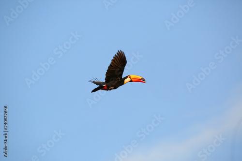 Keuken foto achterwand Toekan Toucan in flight