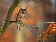 Long-eared Owl (Asio Otus), Also Known As The Northern Long-eared Owl, Is A Species Of Owl Which Breeds In Europe, Asia, And North America.