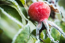 Frozen Berries And Wild Rose Flowers In The Winter Forest