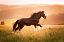Shire Horse Hengst