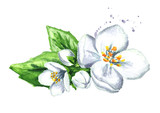 White jasmine flowers. Watercolor hand drawn illustration  isolated on white background
