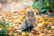 Cute Siberian Cat Sitting On The Fallen Leaves In The Autumn Garden