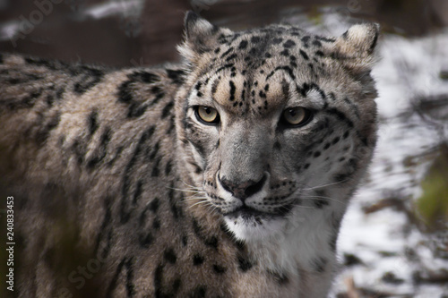 In de dag Panter Beautiful and noble face of the snow leopard close-up in the winter among the branches