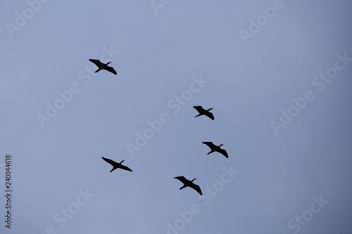 Fotografering  Kormorane im Staffelflug
