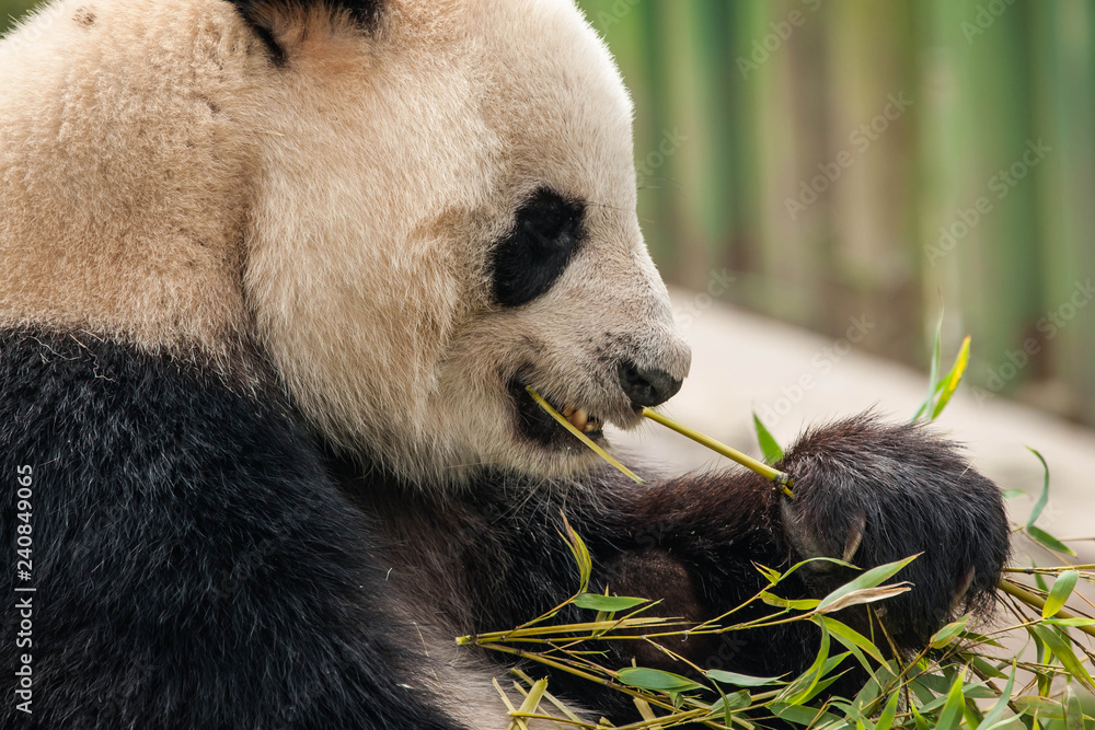 Hungry giant black and white panda bear eating bamboo