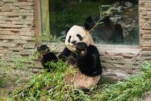 Hungry Giant Black And White Panda Bear Eating Bamboo
