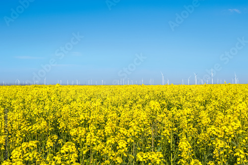 wind farm and rapeseed flower field