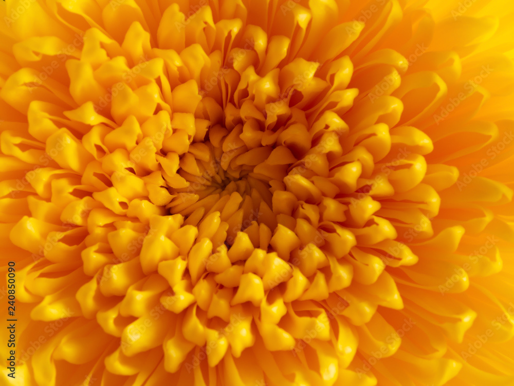 Fototapety, obrazy: close up on the central of a yellow chrysanthemum flower