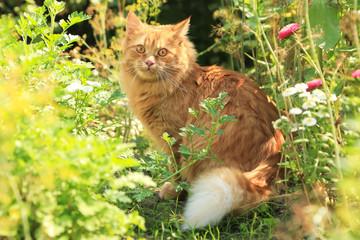 Naklejka na ściany i meble Beautiful red cat portrait outdoor in garden in nature