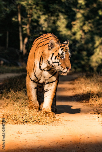 Head on shot of a bengal tiger walking along a jungle path in India Fototapet
