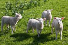 Curious Spring Lambs Watching ...