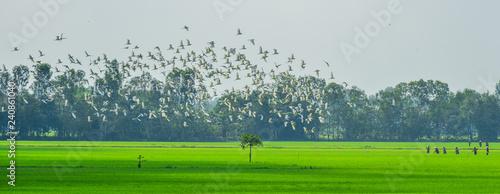 Fotografia Rice field in Mekong Delta, Southern Vietnam