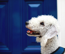 Bedlington Terrier Next To Blu...