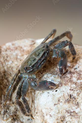 marbled rock crab - Pachygrapsus marmoratus