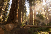 USA, California, Sequoia National Park, Sequoia Tree And Man, Sun Light