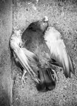Dead Pigeon Crete Greece Europe