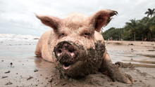 Pig In Mud At The Beach Playin...