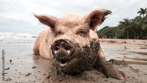 Foto pig in mud at the beach playing and eating